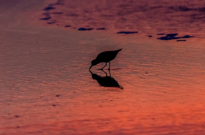 Sandpiper at Sunrise 8/7/16