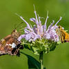 Moths on Flower 7/20/16