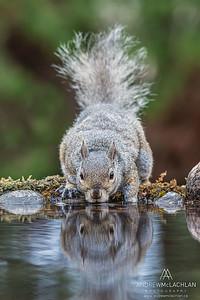Eastern Gray Squirrel (Sciurus carolinensis) drinking at pond, Thornton, Ontario, Canada