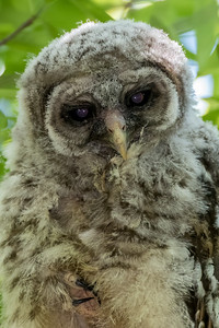 """Baby Barred Owl"""