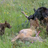 Black Bear Family with a Fresh Meal