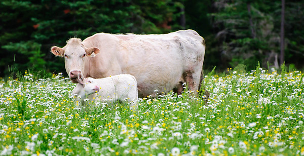 Cow buttercups and daisys