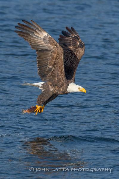 Bald Eagle with Captured Kokanee Salmon