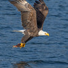 Bald Eagle with Captured Kokanee Salmon
