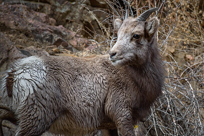 Baby Big Horn Sheep wet from river crossing