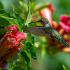 Ruby-Throated Hummingbird 7/20/18
