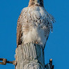 Red-Tailed Hawk 11/28/16