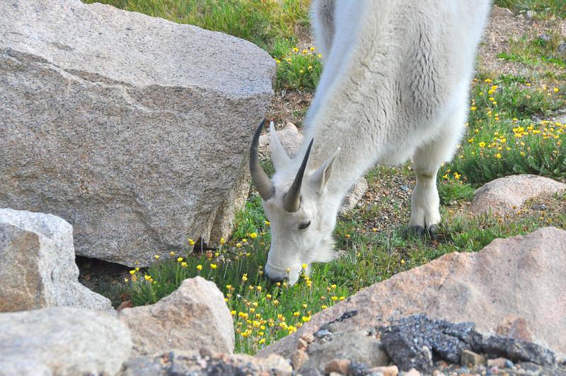 252 - Mountain Goat, Mt. Evans, CO