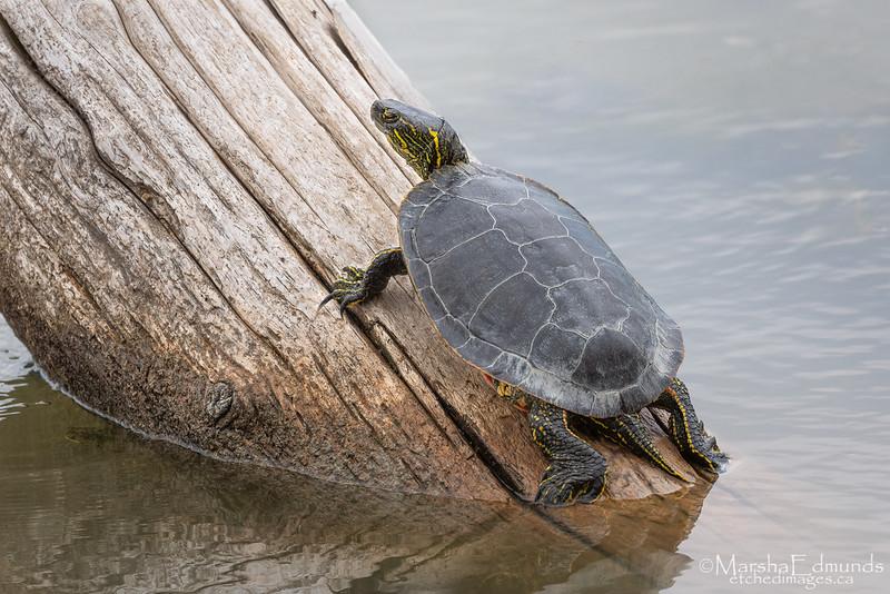 Large Painted Turtle