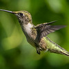 Ruby-Throated Hummingbird 7/20/16