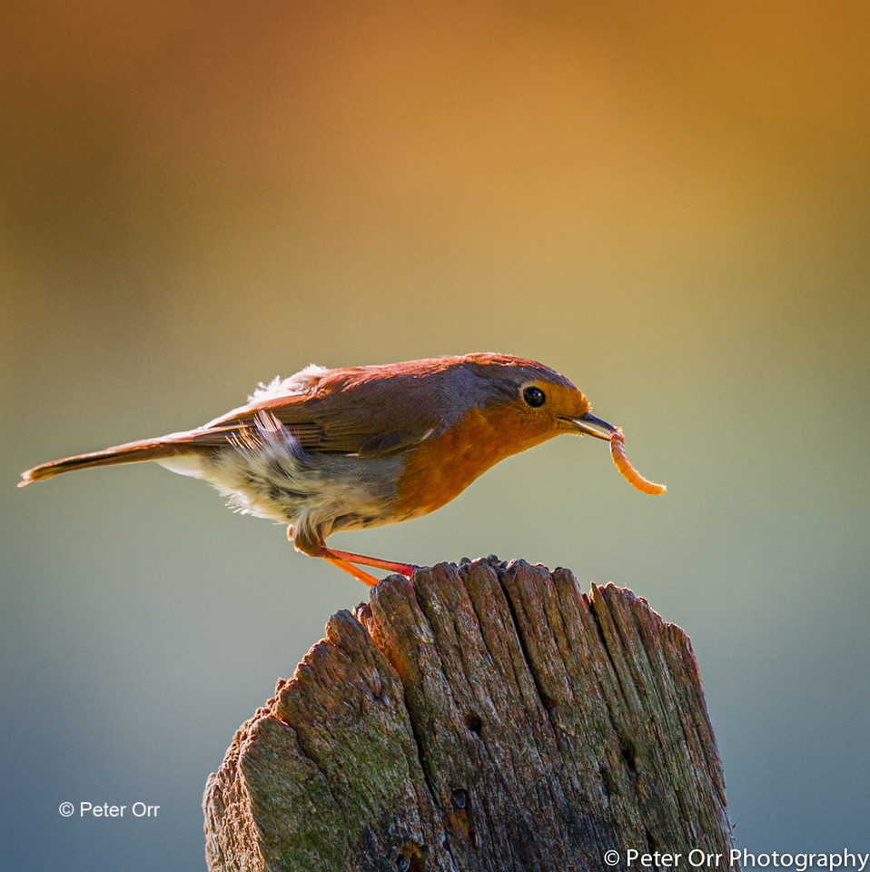 Backlit Robin