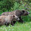 Attentive Grizzly with Triplets