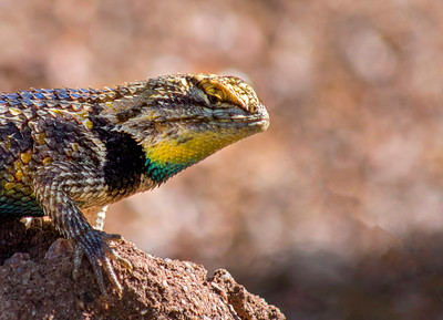 Collared Lizzard on Rock