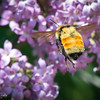 Bumblebee In Flight Visiting the Lilacs