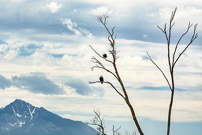 Beautiful Eagles
