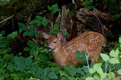 A Blacktailed Dear fawn amongst blackberry bushes