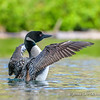 Wing Flapping Loon