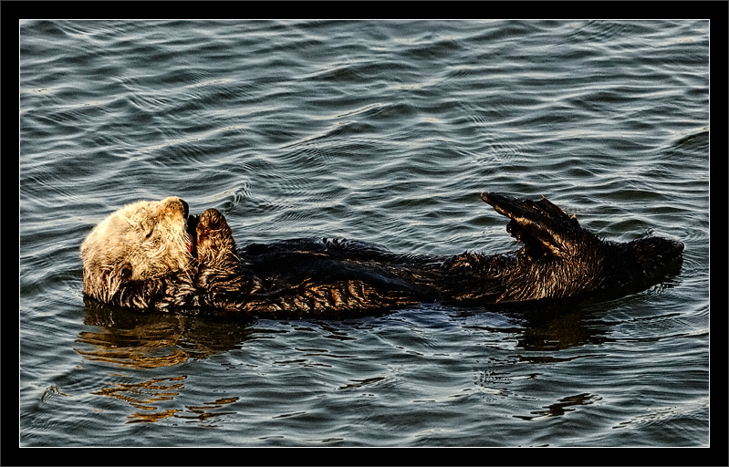 More Grooming  A sea otter floats along, grooming its head to keep warm.  (The little bit of red is its tongue.)  Sea otters are ocean mammals that spend most of time hunting, eating, sleeping, and grooming.  Moss Landing State Beach, California  18-APR-2010