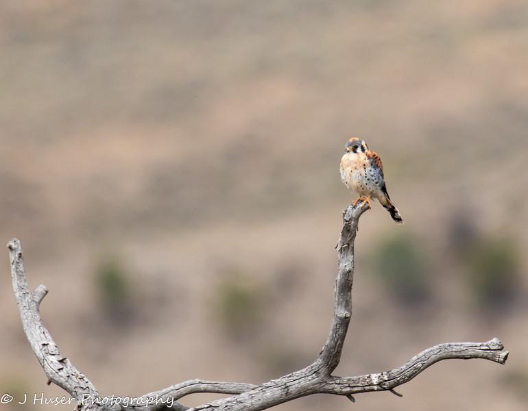 American Kestrel perched on a limb
