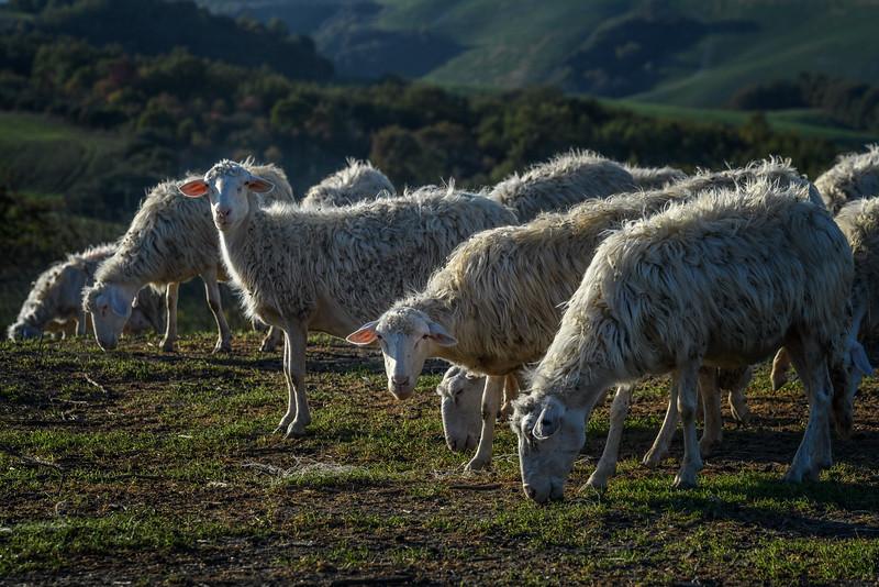 Sheep in Tuscany, Italy