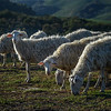 Sheep in Tuscany, Italy