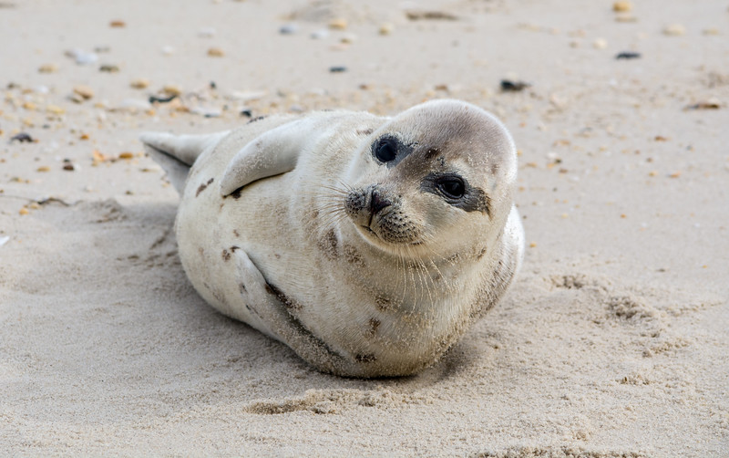 Harp Seal on Beach, Ortley Beach, NJ 2/12/16