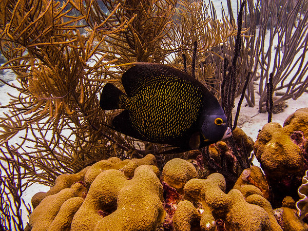 French Angelfish, British Virgin Islands