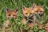 Fox Kit Siblings