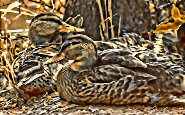 Laying Mallards - Paint Rendering