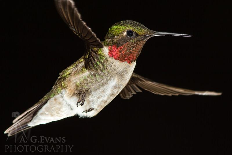 Ruby-throated Male in flight