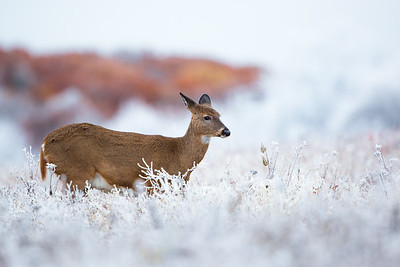 Doe in the Frost