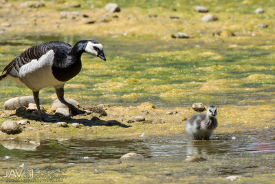 Barnacle Goose with chick