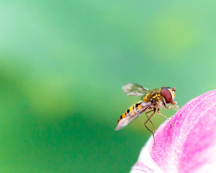 Hoverfly resting