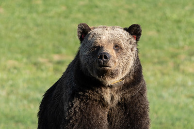 Collard Grizzly Sow Portrait