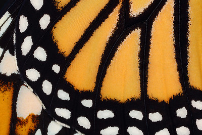 Monarch Butterfly Wing Close-Up