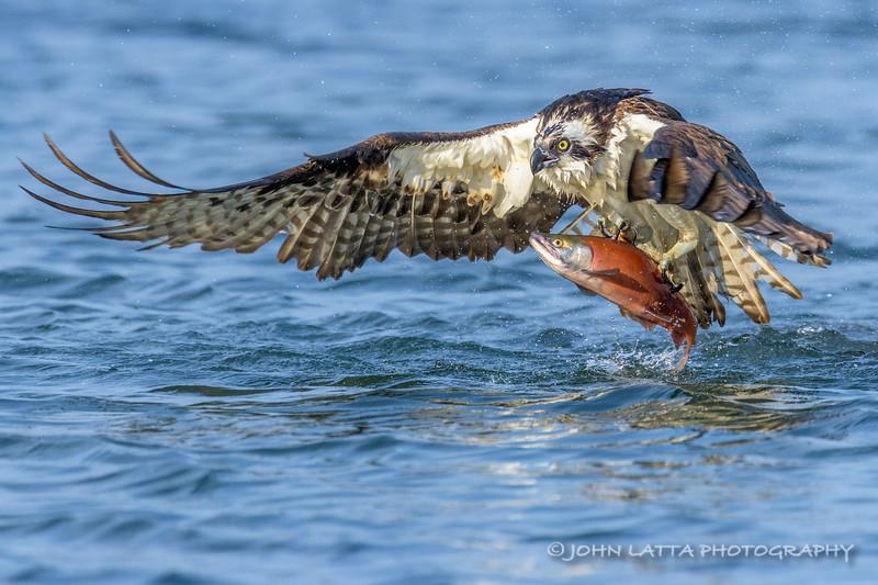 Osprey - Nature's Highly Evolved Fish Capturing Bird