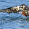 Osprey - Nature's Highly Evolved Fish Capturing Bird