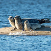Harbor Seals, Sandy Hook, NJ
