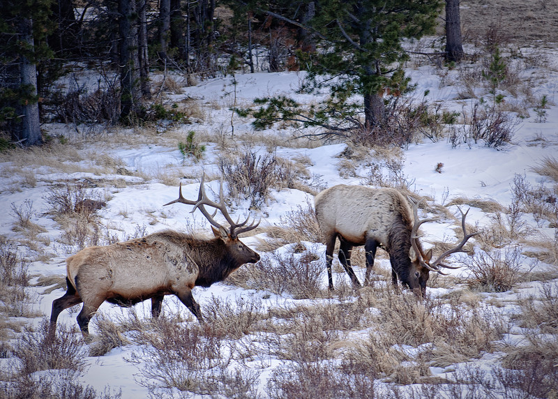 Bull Elk (Cervus canadensis) foraging for browse in the Colorado mountains.