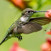 Ruby-Throated Hummingbird 7/10/17
