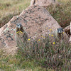 Yellow-bellied Marmots, Pike's peak, Colorado