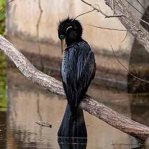 An Anhinga at Lake Lily in Maitland