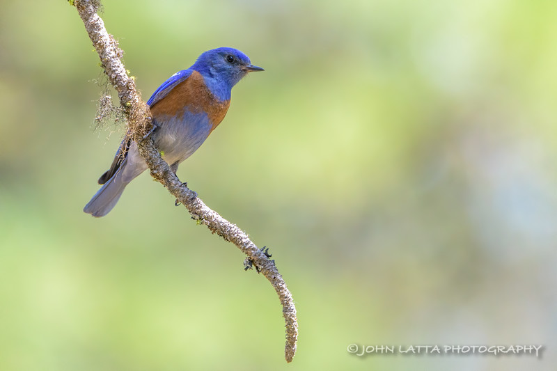 Male Western Bluebird
