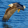 An Eagle's Catch of Spawned Out Kokanee