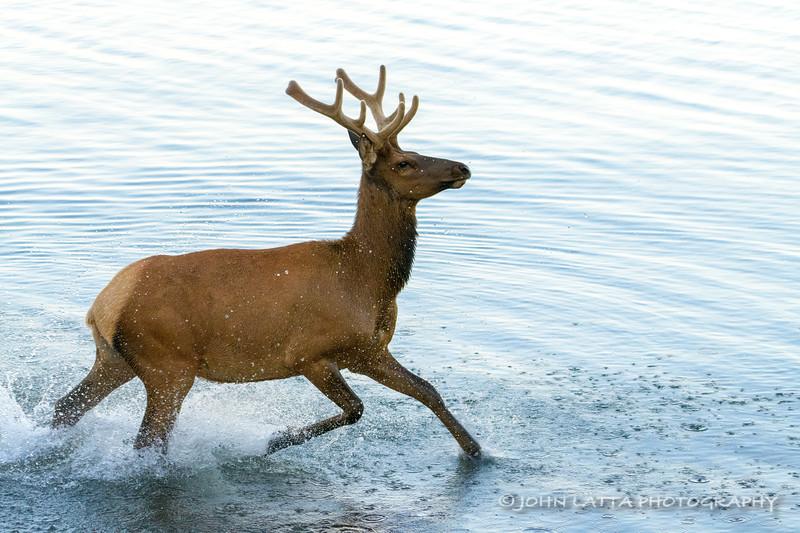"Young Bull Elk ""Plays"" in Yellowstone Lake"