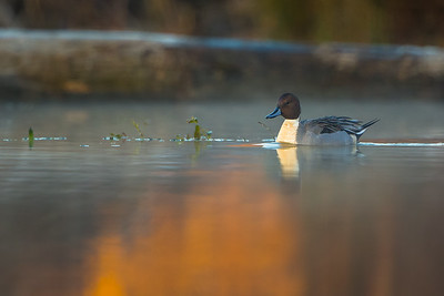 Sunrise on a Pintail