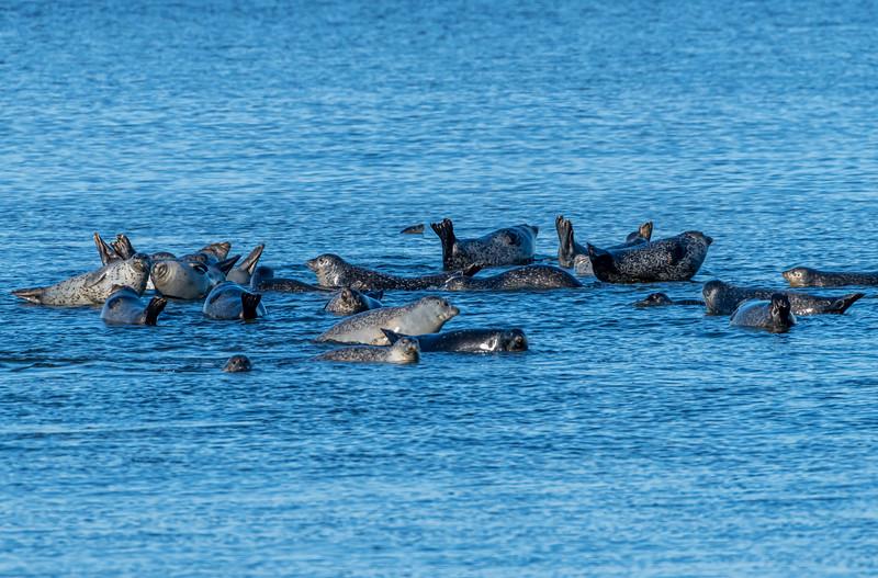 Harbor Seals Resting On The Rocks In Sandy Hook Bay 2/15/20