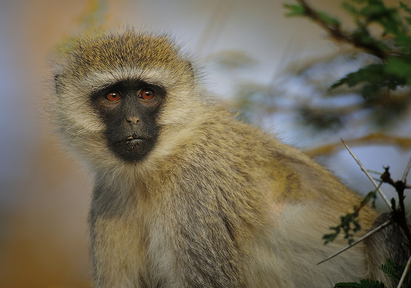 Vervet Monkey, Lake Nakuru, Kenya, East Africa