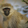 Vervet Monkey, Lake Nakuru, Kenya, East Africa