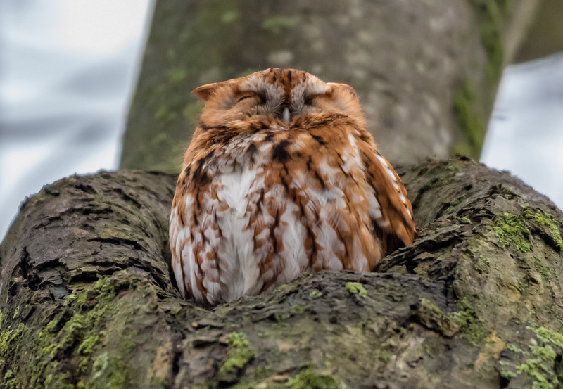 Red Morph Screech Owl 2/26/18